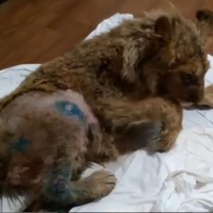 記念撮影で動かないよう足を折られた子ライオン、救出されて回復中