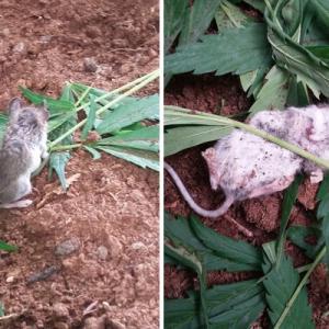 庭に生えたマリファナを食べたネズミが気絶、その姿がちょっと可愛い