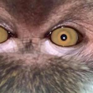 マレーシアで動物が自撮り?盗まれたスマホを見たらサルの顔写真が!