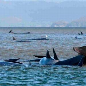豪タスマニア島の浅瀬に270頭のクジラが漂着、すでに3分の1が死んだか
