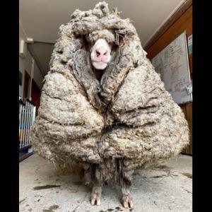 野生で暮らしていた羊、毛が伸びすぎてすごいことに【動画】