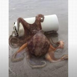 【賢い!】浜辺に打ち上げられたタコの住処、卵を守ろうと母親が懸命に押し始める