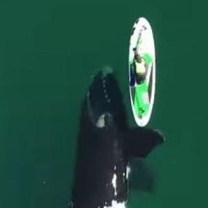 好奇心からパドルボードに接近するクジラ、ソフトタッチする姿が優しい