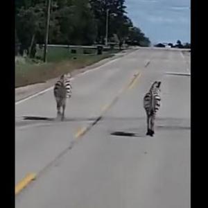 米のハイウェイに2頭のシマウマ、目撃した運転手も目を疑う