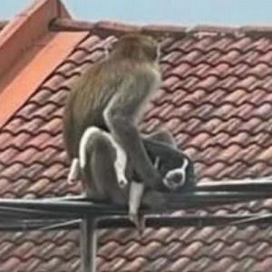 マレーシアでサルが犬の赤ちゃんを誘拐、住民らが救出を試みる
