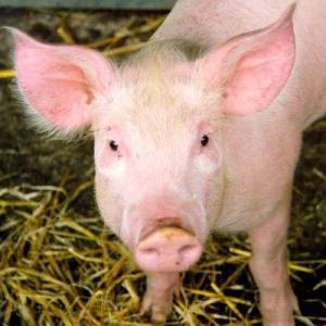 二酸化炭素の不足により、英の畜産農家が10万頭のブタを無駄に殺処分か