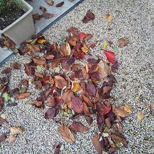 玄関にたまる落ち葉と来年の年賀状