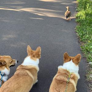 カモと友だちになりたい3匹です