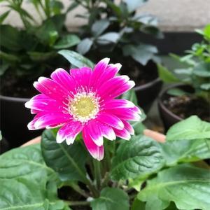 きれいに咲くために