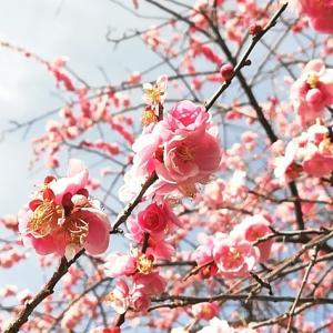 【豊田市おでかけ】平芝梅林公園の梅を見に行ってきました♪