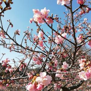 1週間前の河津桜