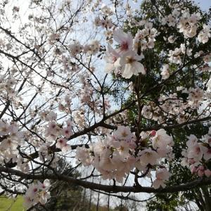 鞍ヶ池公園は桜が咲き出しました♪スタバもできてます!