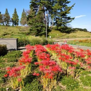 秋晴れ♪鞍ヶ池公園にも彼岸花が咲いています