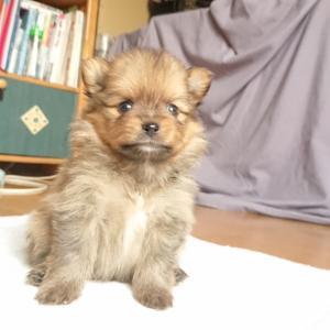 7月8日生まれ ポメラニアン 子犬 見学予約受付中