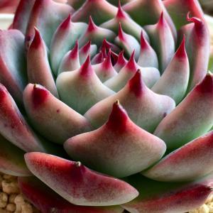 赤いエッジと爪が素敵☆桃太郎&チワワエンシス&花うらら