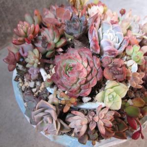 寄せ植えの仕立て直し②二段鉢&素焼鉢の寄せ植え