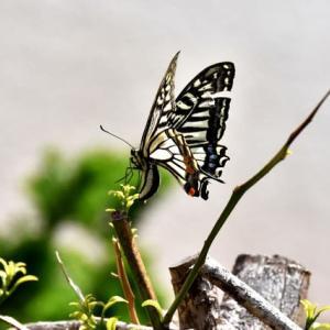 最近の蝶との出会い