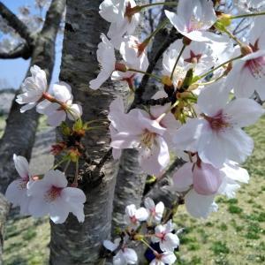桜の歌・心に潤いを