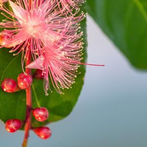 ■サガリバナ■ 夏に咲く一夜限りのはかない美しい花が12月に見れた