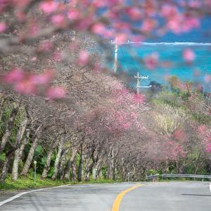 ■桜のピンクと珊瑚礁の海の青■ 1月、沖縄ではもう桜満開