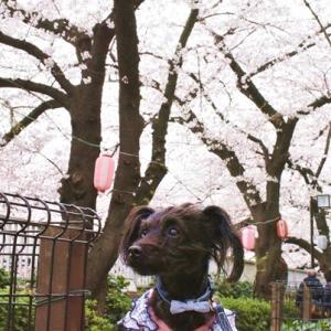 寂しい桜 ・ 最後の桜