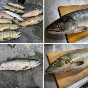 今季鮭釣り終了