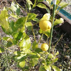 レモンの初収穫とマーマレード
