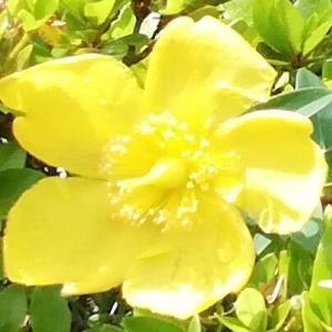 金糸梅と紫陽花