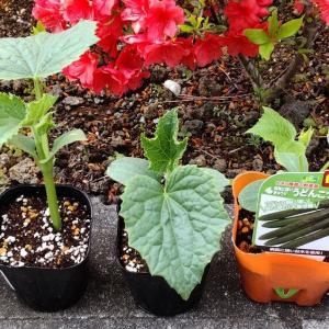 昨年より9日早く野菜の苗を植えました!