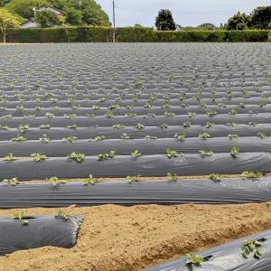茨城の焼き芋と小屋の除草