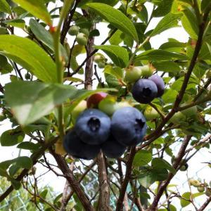 珍客来訪とブルーベリーの初収穫