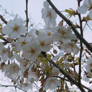 26日桜咲き始めウォーキング