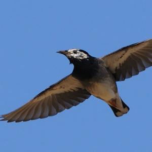 ムクドリ飛翔●●お手軽「鳥の写真バッジ」が作れます●●