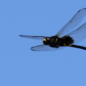 コシアキトンボ飛翔(未成熟オス)|龍チックな羽虫?