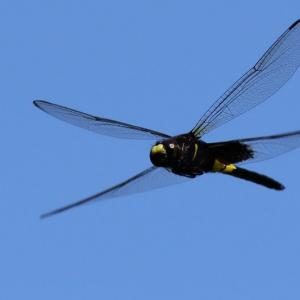 続:コシアキトンボ飛翔(未成熟オス)|狙う個体は...
