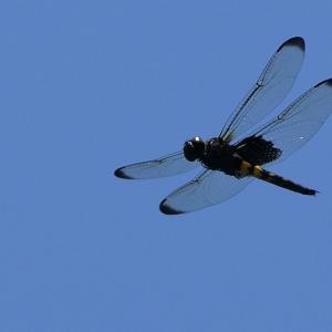 コシアキトンボ飛翔|雌雄で行動が違うので...