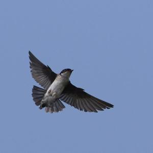 イワツバメ飛翔捕食|リアルな自然の情景