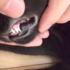 クロちゃんおとなの歯