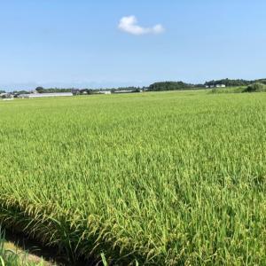 昨日の朝は田んぼラン
