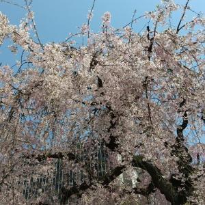 満開の桜のもとで未来を考える