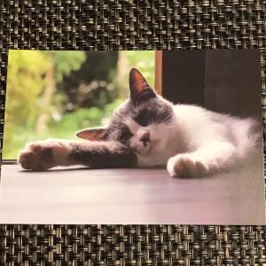ハチワレ猫のポストカード