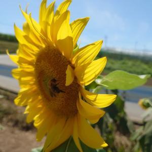 『鼻高展望花の丘』のヒマワリ畑