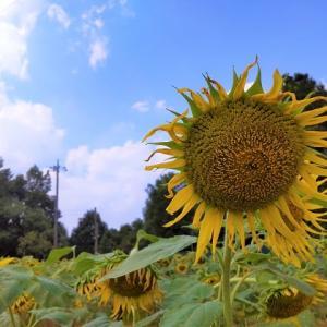(仮称)佐倉西部自然公園 ひまわり畑