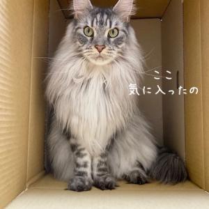 高貴すぎるダンボール猫