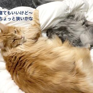 猫と一緒にお布団で寝る夢と現実