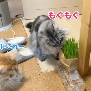 ついに猫草デビュー!