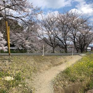 奈良大和路は花盛り♪桜も菜の花も満開です。