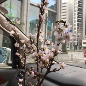 桜のお届け