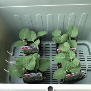 子供に枝豆を育てて貰い収穫出来ました【初めての家庭菜園】