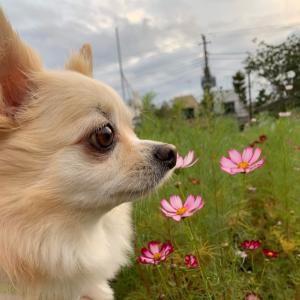 しおわかと秋桜
